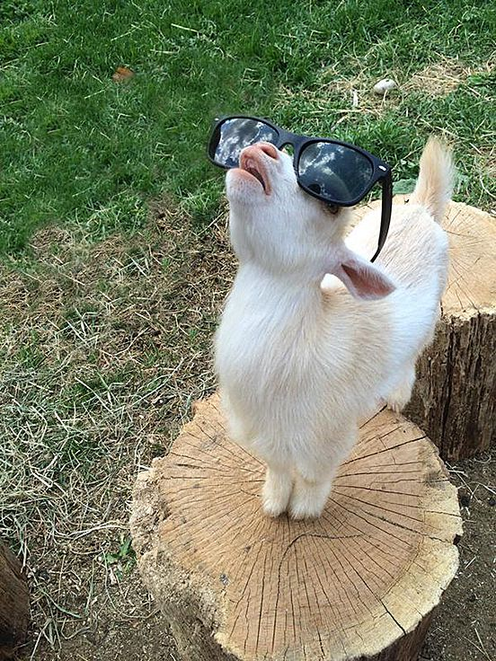 Goats Are Cool