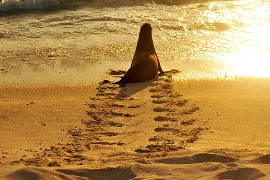 Sunset Sea Lion Re-Entry – Galapagos